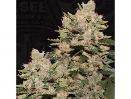 T.H. Seeds MOB, feminizovaná semínka konopí, 5ks