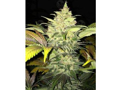 T.H. Seeds Roof 95, feminizovaná semena marihuany, 2ks