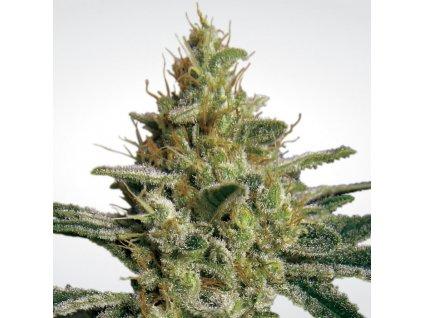 Paradise Seeds Allkush, feminizovaná semena marihuany, 5ks