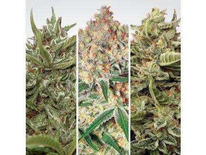 Paradise Seeds Autoflowering Mix 1, feminizovaná semena marihuany, samonakvétací, 6ks