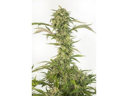 Dinafem OG Kush Autoflowering CBD, samonakvétací konopná semínka, feminizovaná, 5ks