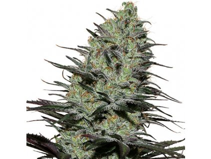 Buddha Seeds Morpheus, feminizovaná semínka marihuany, 10ks