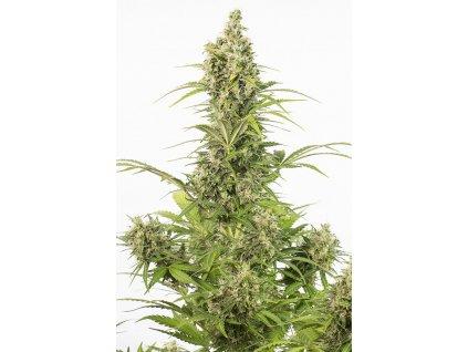 Dinafem White Widow Autoflowering CBD, samonakvétací semínka marihuany, feminizovaná, 10ks
