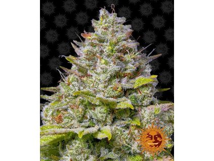 Barney's Farm Blue Gelato 41, feminizovaná semínka marihuany, 10ks
