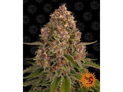 Barney's Farm Pink Kush, feminizovaná semínka marihuany, 10ks