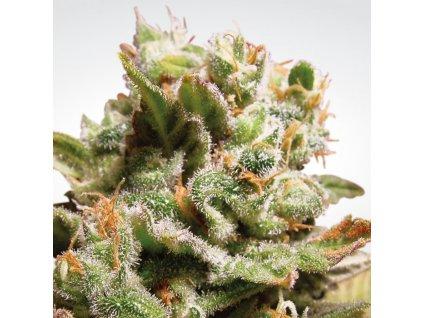 Paradise Seeds Dutch Dragon, feminizovaná semínka konopí, 10ks
