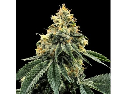 DNA Genetics Kosher Dawg, feminizovaná semena marihuany, 3ks