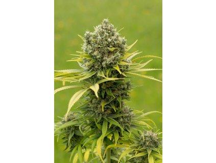 Dinafem Dinamed CBD Plus, feminizovaná semena konopí, 3ks