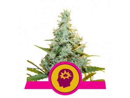 Royal Queen Seeds AMG, feminizovaná semena marihuany, 10ks