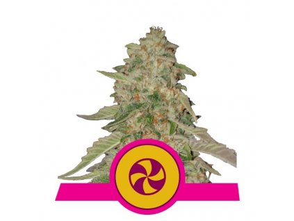 Royal Queen Seeds Sweet ZZ, feminizovaná semena marihuany, 10ks