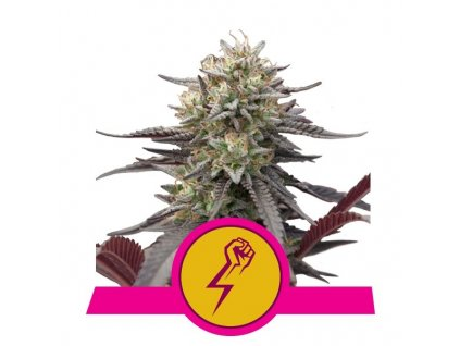 Royal Queen Seeds Green Crack Punch, feminizovaná semena marihuany, 10ks