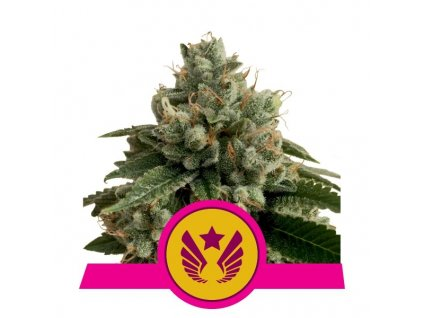 Royal Queen Seeds Legendary Punch, feminizovaná semena marihuany, 10ks