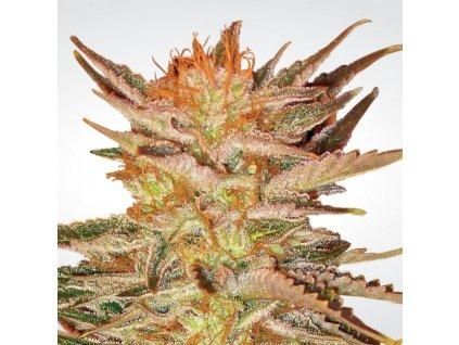 Paradise Seeds Icecream, feminizovaná konopná semínka, 5ks