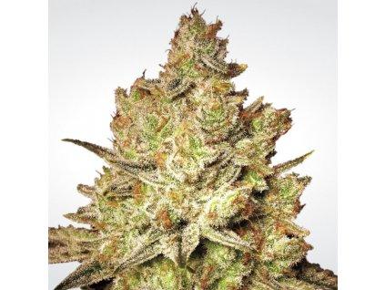 Paradise Seeds Jacky White, feminizovaná semínka marihuany, 10ks