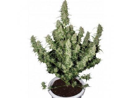 Buddha Seeds Magnum, feminizovaná semena marihuany, samonakvétací, 3ks
