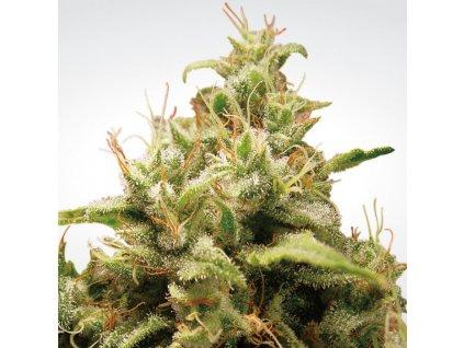 Paradise Seeds Opium, feminizovaná semínka konopí, 10ks