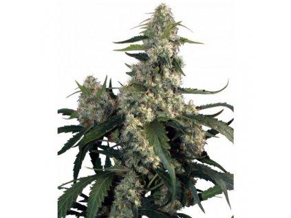 Buddha Seeds Quasar, feminizovaná semena marihuany, 3ks