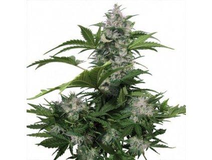 Buddha Seeds White Dwarf, feminizovaná semena konopí, samonakvétací, 3ks