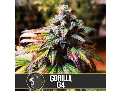 Blimburn Seeds Gorilla G4, feminizovaná semena marihuany, 3ks