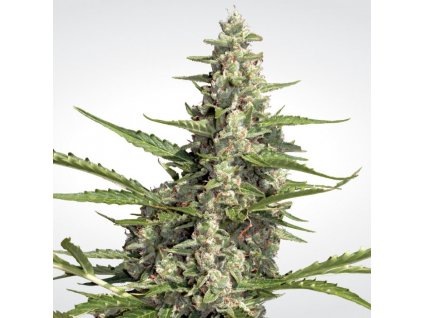 Paradise Seeds Pandora, feminizovaná semena marihuany, samonakvétací, 5ks