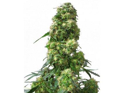 Sensi Seeds Early Skunk, feminizovaná semínka marihuany, 25ks