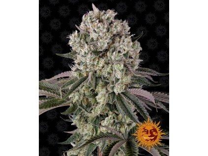 Barney's Farm Glookies, feminizovaná semínka marihuany, 10ks