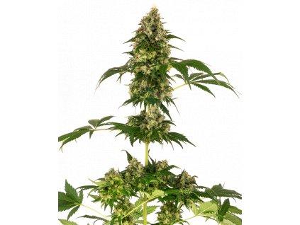 Sensi Seeds Sensi #11 (Blueberry x Afghani x Silver Haze), feminizovaná semena marihuany, 10ks