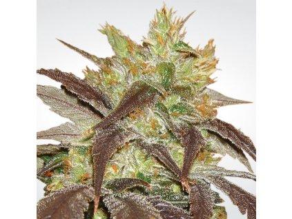 Paradise Seeds Spoetnik #1, feminizovaná semena marihuany, 5ks