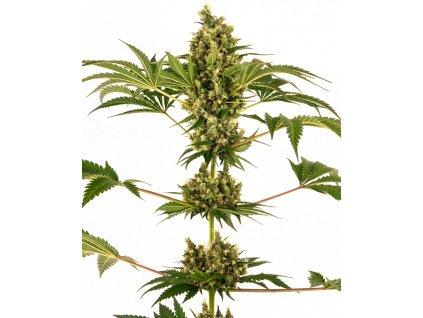 Sensi Seeds Sensi #34 CBD (Sensi Auto CBD), feminizovaná konopná semínka, samonakvétací, 10ks