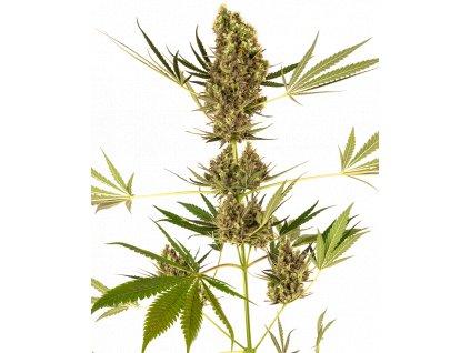Sensi Seeds Sensi #41 CBD (Swiss Dream x Skunk #1 Auto ), feminizovaná semena marihuany, samonakvétací, 5ks
