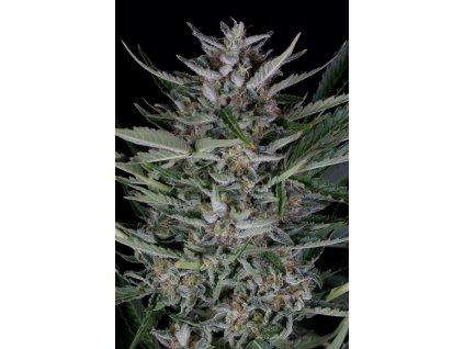 Dinafem Gorilla Autoflowering, feminizovaná semena konopí, samonakvétací, 3ks