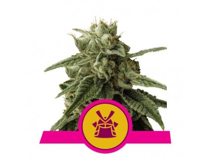 Royal Queen Seeds Shogun, feminizovaná semínka marihuany, 10ks