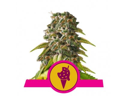 Royal Queen Seeds Cookies Gelato, feminizovaná semena marihuany, 10ks
