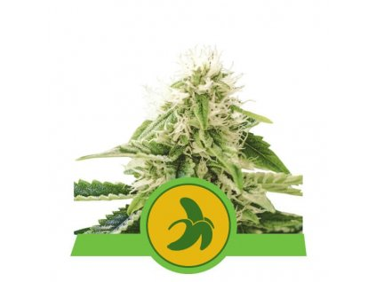 Royal Queen Seeds Fat Banana Automatic, feminizovaná semínka marihuany, samonakvétací, 10ks