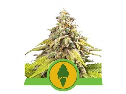 Royal Queen Seeds Green Gelato Automatic, feminizovaná semínka marihuany, samonakvétací, 10ks