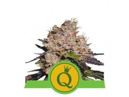 Royal Queen Seeds Purple Queen Automatic, feminizovaná semínka marihuany, samonakvétací, 10ks