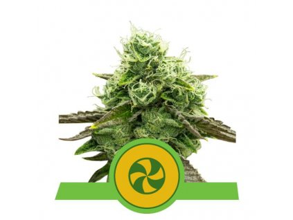 Royal Queen Seeds Sweet ZZ Automatic, feminizovaná semínka marihuany, samonakvétací, 10ks