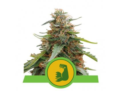 Royal Queen Seeds Hulkberry Automatic, feminizovaná semínka marihuany, samonakvétací, 10ks
