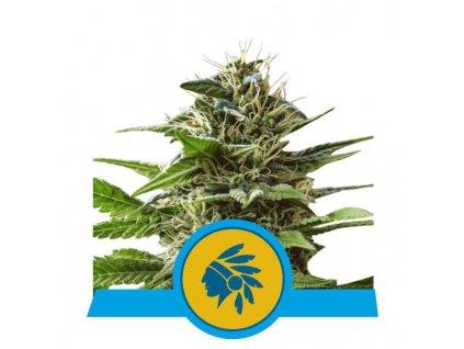 Royal Queen Seeds Tatanka Pure, feminizovaná semena marihuany, 3ks
