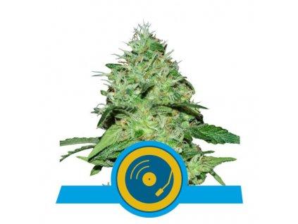 Royal Queen Seeds Joanne's CBD, feminizovaná semínka marihuany, 10ks