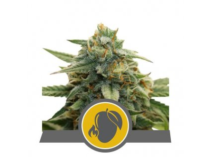 Royal Queen Seeds Mango Crunch, regulérní semena marihuany, 25ks