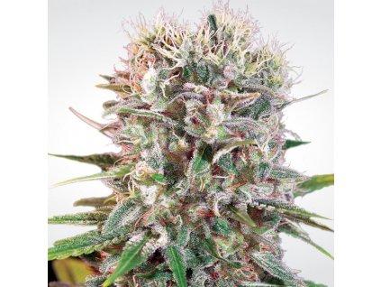 Paradise Seeds Wappa, feminizovaná semena marihuany, 5ks