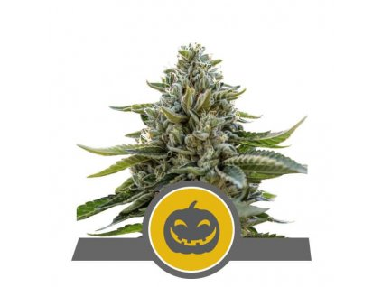 Royal Queen Seeds Pumpkin Kush, regulérní semena marihuany, 25ks