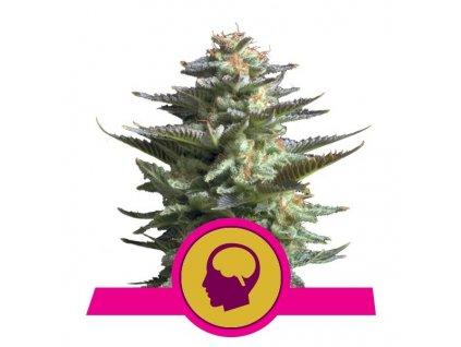 Royal Queen Seeds Amnesia Haze, feminizovaná semínka konopí, 5ks
