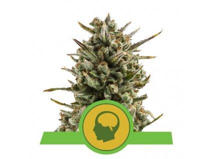 Royal Queen Seeds Amnesia Haze Automatic, feminizovaná semínka marihuany, samonakvétací, 10ks