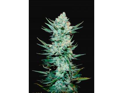 Fast Buds Tangie Matic Auto, feminizovaná semínka marihuany, samonakvétací, 10ks