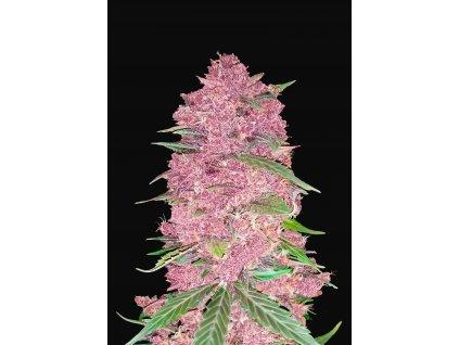 Fast Buds Purple Lemonade Auto, feminizovaná semínka marihuany, samonakvétací, 10ks