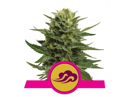 Royal Queen Seeds Blue Mystic, feminizovaná semena marihuany, 5ks