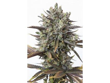 Dinafem Purple Orange CBD, feminizovaná semena marihuany, 5ks