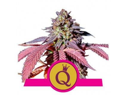 Royal Queen Seeds Purple Queen, feminizovaná semena konopí, 3ks